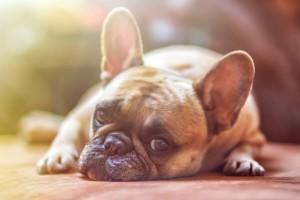 dog home carpeting